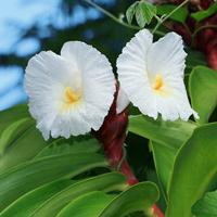 Exotic Tropical Flowers - Costus speciosus – Crepe Ginger