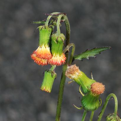 Crassocephalum crepidioides - Redflower Ragleaf, Crassocephalum (flowers)