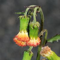 Orange Hawaiian Flowers - Crassocephalum crepidioides – Redflower Ragleaf