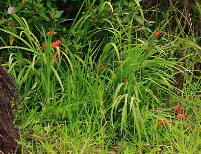 Crocosmia x crocosmiiflora - Montbretia, Montebretia, Crocosmia, Autumn Gold