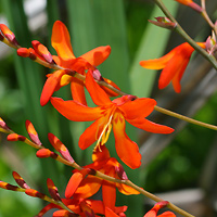 Orange Hawaiian Flowers - Crocosmia × crocosmiiflora – Montbretia