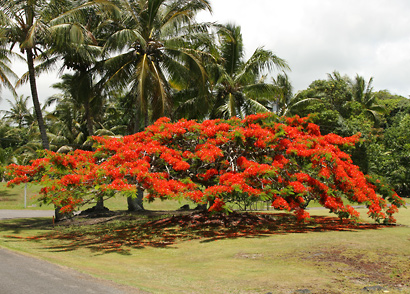 Delonix Regia Royal Poinciana Flamboyant Flame Tree