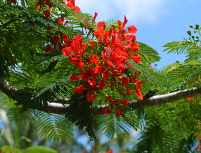 Delonix Regia Royal Poinciana Flamboyant Flame Tree Flowers And Leaves