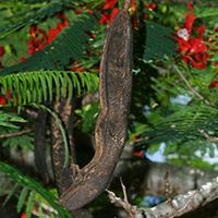 Hawaiian Fruit or Cones - Delonix regia – Royal Poinciana