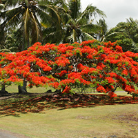 Red Hawaiian Flowers - Delonix regia – Royal Poinciana