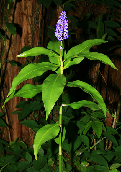 Dichorisandra thyrsiflora - Blue Ginger, Blue-ginger