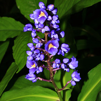 Purple and Blue Hawaiian Flowers - Dichorisandra thyrsiflora – Blue Ginger
