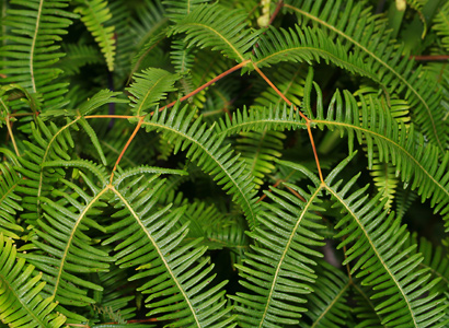 Dicranopteris linearis - Old World Forkedfern, Uluhe, Climbing Fern, False Staghorn