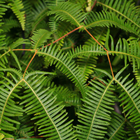Non-flowering Hawaiian Plants - Dicranopteris linearis – Old World Forkedfern