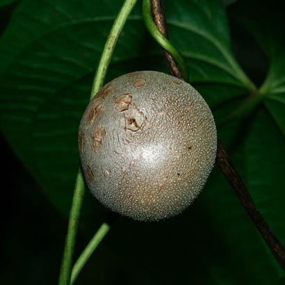 Dioscorea bulbifera - Air Yam, Air Potato, Bitter Yam, Aerial Yam, Potato Yam, Hoi, Pi`oi (bulbil or aerial tuber)