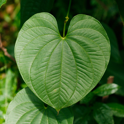 Dioscorea bulbifera - Air Yam, Air Potato, Bitter Yam, Aerial Yam, Potato Yam, Hoi, Pi`oi (leaf)