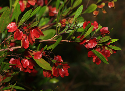 Dodonaea viscosa - Florida Hopbush, 'A'ali'i, Kumakani, Hawaiian Hopseed Bush (winged seed capsules)