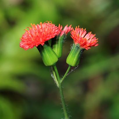 Emilia fosbergii - Florida Tasselflower, Flora's Paintbrush (red flowers)