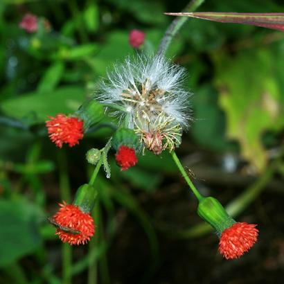 Emilia fosbergii - Florida Tasselflower, Flora's Paintbrush (seeds)
