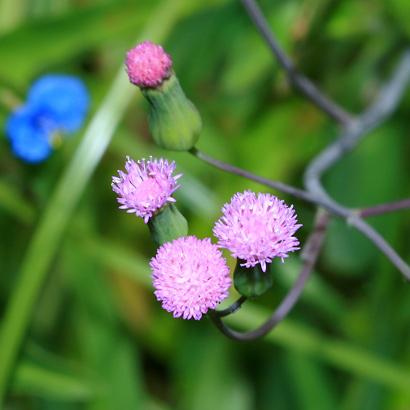 Emilia sonchifolia - Lilac Tasselflower, Cupid's Shaving Brush, Flora's Paintbrush, Emilia (lavender-pink flowers)