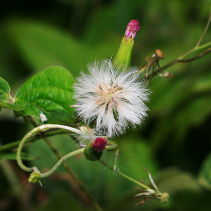 Emilia sonchifolia - Lilac Tasselflower, Cupid's Shaving Brush, Flora's Paintbrush, Emilia (seeds)