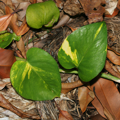 Epipremnum pinnatum - Golden Pothos, Golden Pothos Vine, Pothos, Centipede Tongavine, Taro Vine, Devil's Ivy (young leaves)