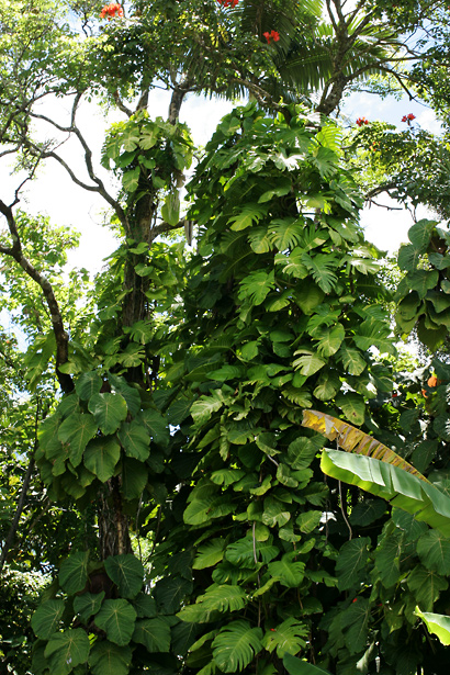 Epipremnum pinnatum - Golden Pothos, Golden Pothos Vine, Pothos, Centipede Tongavine, Taro Vine, Devil's Ivy
