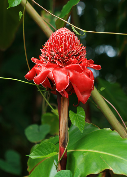 Etlingera elatior - Torch Ginger, Torch-ginger, Philippine Waxflower (flowers)