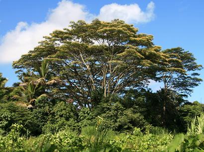 Falcataria moluccana - Moluccan Albizia, Molucca Albizia, Peacocksplume, Batai, Bataiwood, Moluccan Sau (blooming tree)