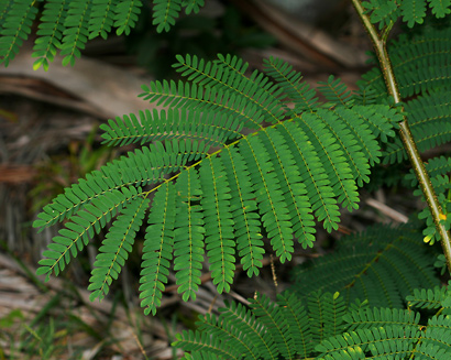 Falcataria moluccana - Moluccan Albizia, Molucca Albizia, Peacocksplume, Batai, Bataiwood, Moluccan Sau (leaf)