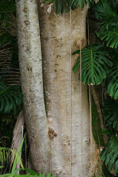Falcataria moluccana - Moluccan Albizia, Molucca Albizia, Peacocksplume, Batai, Bataiwood, Moluccan Sau (bark)