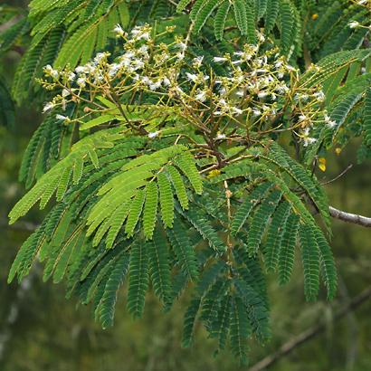 Falcataria moluccana - Moluccan Albizia, Molucca Albizia, Peacocksplume, Batai, Bataiwood, Moluccan Sau (white flowers)