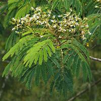 White Hawaiian Flowers - Falcataria moluccana – Moluccan Albizia