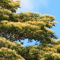Yellow Hawaiian Flowers - Falcataria moluccana – Moluccan Albizia