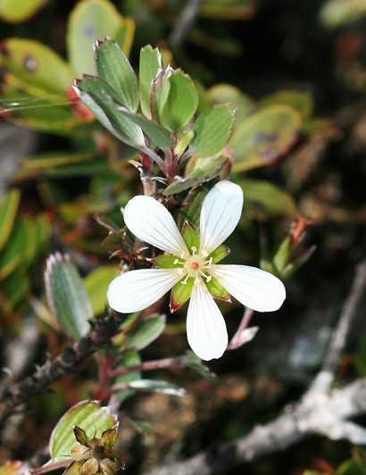 Geranium cuneatum - Hinahina, Silver Geranium
