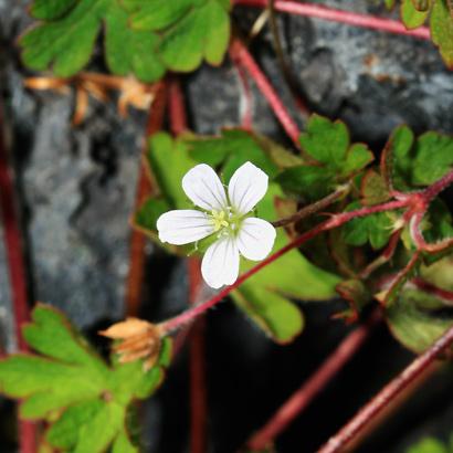 Geranium homeanum - Australasian Geranium