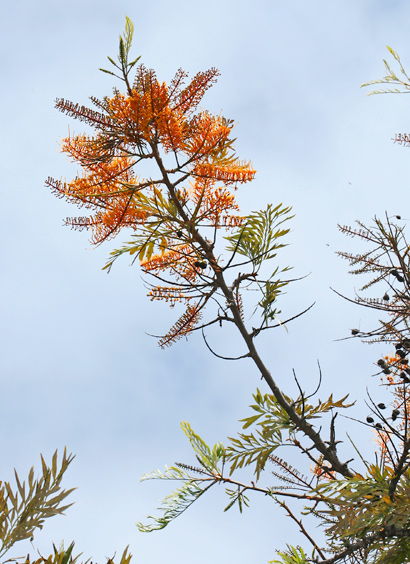 Grevillea robusta - Silk Oak, Silkoak, Silky Oak, Silver Oak, Australian Silky-oak