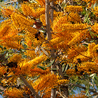 Orange Hawaiian Flowers - Grevillea robusta – Silk Oak