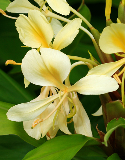 Hedychium flavescens - Yellow Ginger, Cream Garland-lily, Cream Ginger, 'Awapuhi melemele (yellow flower)
