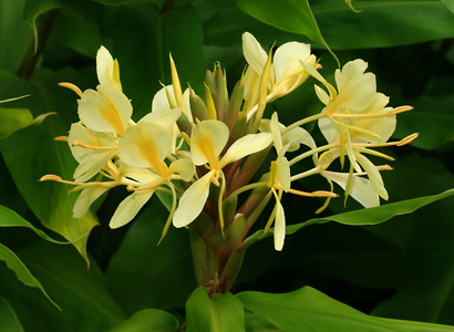 Hedychium flavescens - Yellow Ginger, Cream Garland-lily, Cream Ginger, 'Awapuhi melemele (yellow flowers)