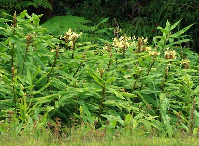 Hedychium flavescens - Yellow Ginger, Cream Garland-lily, Cream Ginger, 'Awapuhi melemele