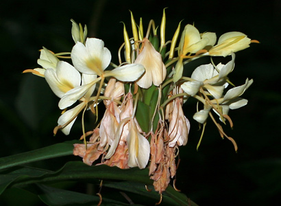 Hedychium flavescens - Yellow Ginger, Cream Garland-lily, Cream Ginger, 'Awapuhi melemele (cream flowers)