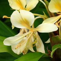 Yellow Hawaiian Flowers - Hedychium flavescens – Yellow Ginger