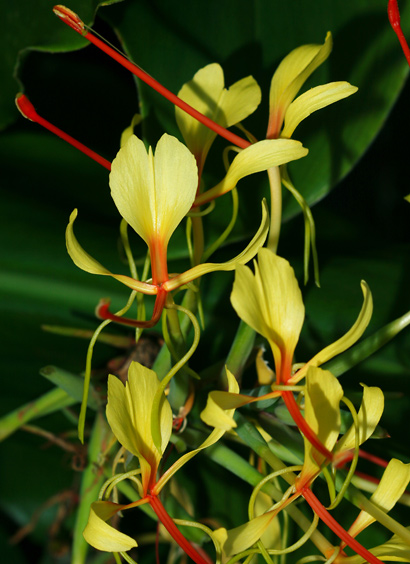 Hedychium gardnerianum - Kahili Ginger, Kahila Garland-lily (flowers)