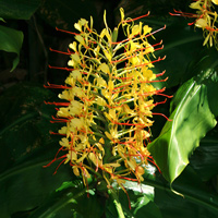 Yellow Hawaiian Flowers - Hedychium gardnerianum – Kahili Ginger