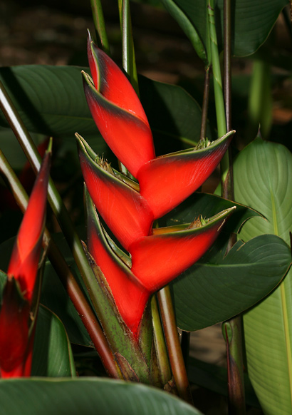exotic tropical flowers  hawaiian plants and tropical flowers, Beautiful flower