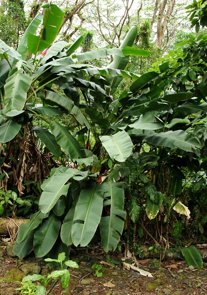 Heliconia bihai - Macaw Flower, Macawflower, Firebird