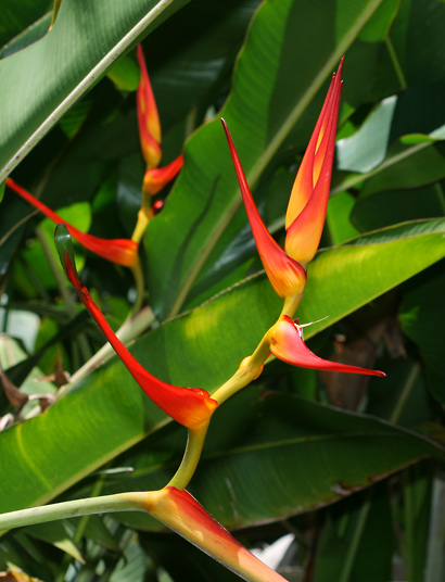 Heliconia latispatha - Expanded Lobster Claw, Expanded Lobsterclaw, Golden Lobster Claw (red inflorescence)