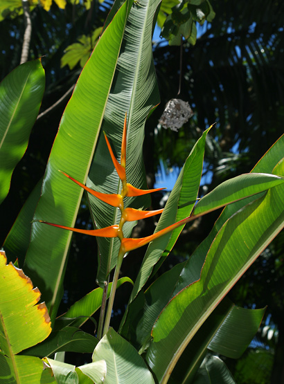Heliconia latispatha - Expanded Lobster Claw, Expanded Lobsterclaw, Golden Lobster Claw (orange inflorescence and leaves)