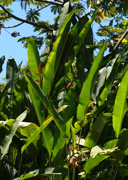 Heliconia latispatha - Expanded Lobster Claw, Expanded Lobsterclaw, Golden Lobster Claw