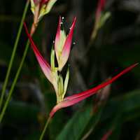 Pink Hawaiian Flowers - Heliconia psittacorum – Parakeet Heliconia