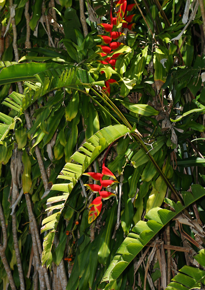 Heliconia rostrata - Hanging Lobster Claw, False Bird of Paradise, Lobster-claw, Crab Claw, Hanging Heliconia