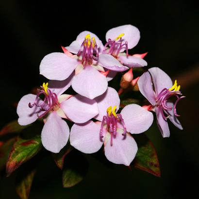 Heterocentron subtriplinervium - Pearlflower, Pearl Flower (pink flowers)