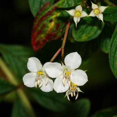 Heterocentron subtriplinervium - Pearlflower, Pearl Flower (white flowers)