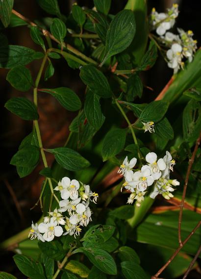 Heterocentron subtriplinervium - Pearlflower, Pearl Flower